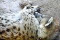 Sleeping hyena Denver zoo.JPG