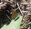 Small Copper - Flickr - gailhampshire (1).jpg