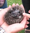 Small hedgehog.jpg