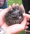 Small hedgehog.jpg
