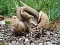 Snails making ... love -) - panoramio.jpg