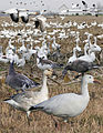 Snow Goose From The Crossley ID Guide Eastern Birds.jpg