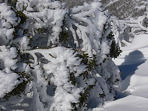 Eucalyptus pauciflora - Snow gum (Eucalyptus pauciflora), Australian Alps, showing how the branches bend rather than break with the weight of the snow and how this causes snow to be lost from the leaves