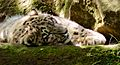 Snow leopard (13968475953).jpg