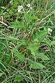 Solanum carolinense 03901.jpg