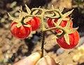 Solanum lycopersicum cerasiforme 03a.JPG