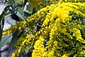 Solidago canadensis Crown of Rays 7zz.jpg