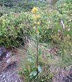 Solidago virgaurea ssp lapponica IMG 2585 Fjellgullris norefjell.JPG