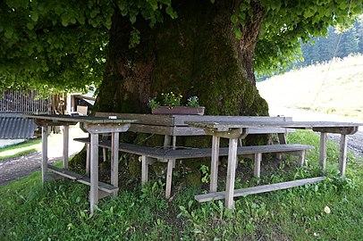 Sommer-Linde am Hof vulgo Zemroser in Kreuth, Gemeinde Frauenstein, Bezirk Sankt Veit an der Glan, Kärnten.jpg