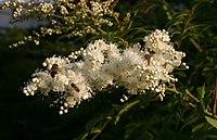Sorbaria-tomentosa-flowers