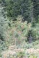 Sorbus aucuparia - Rowan 01.jpg