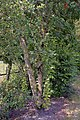 Sorbus aucuparia water sprouts (01).jpg