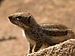 South African Ground Squirrel IMGP1664.jpg