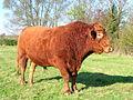 South Devon bull.JPG
