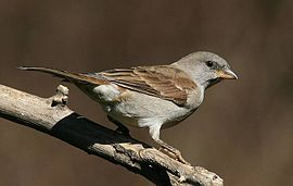 Southern Grey-headed Sparrow (Passer diffusus).jpg