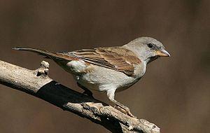 Southern grey-headed sparrow - Non-breeding adult, Pietermaritzburg, South Africa