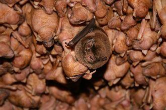 Southern bent-wing bat - Image: Southern bent wing bat pups