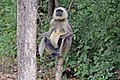 Southern plains grey langur (Semnopithecus dussumieri) female.jpg