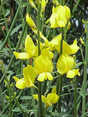 Species: Spartium junceum Family: Fabaceae Ima...