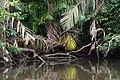 Spectacled Caiman (Caiman crocodylus) (5681512573).jpg