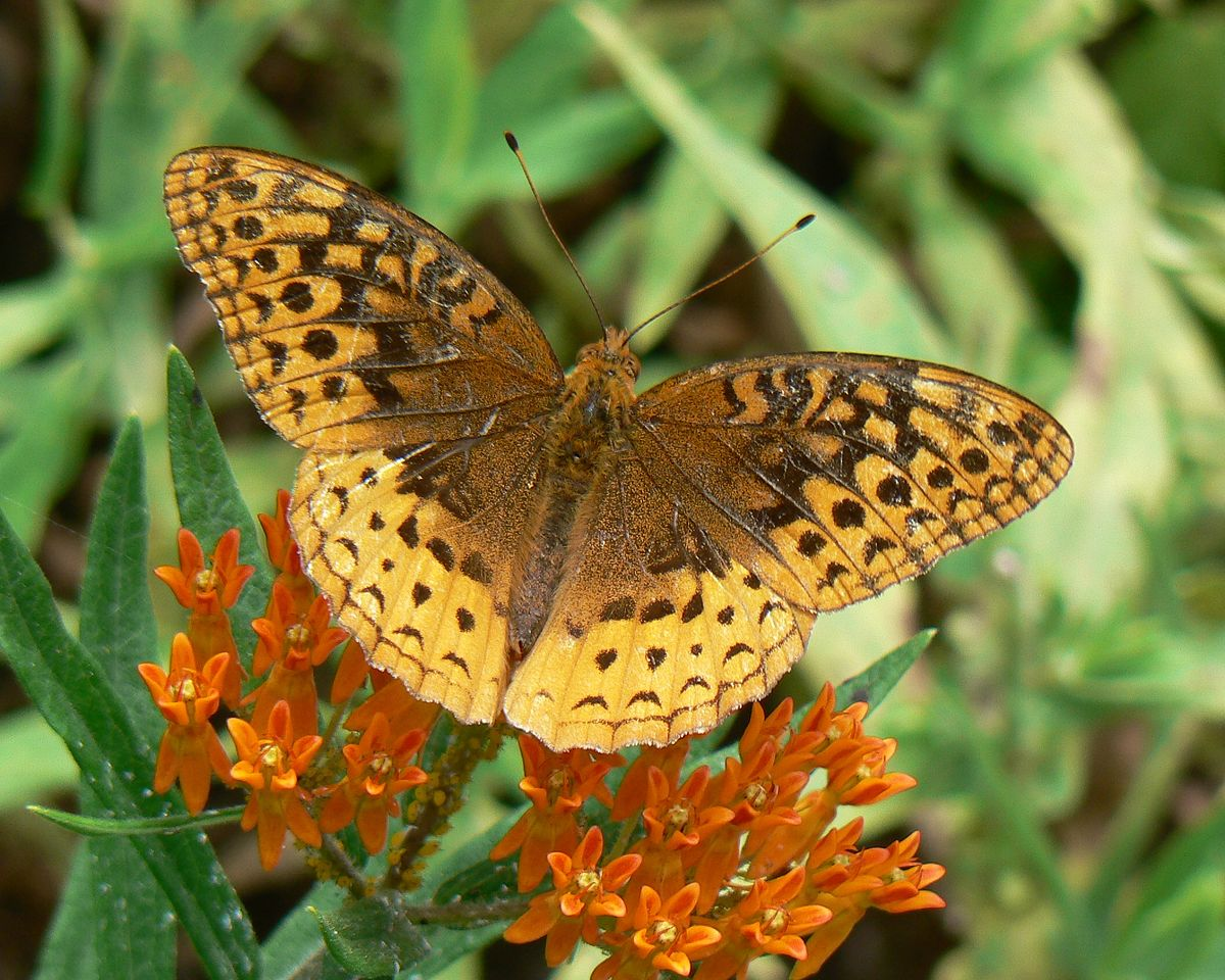 great spangled fritillary wikipedia