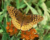 A brown and yellow butterfly alights on orange flowers.