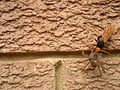 Spider wasp on wall.jpg