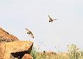 Spike-heeled lark, Chersomanes albofasciata, at Suikerbosrand Nature Reserve, Gauteng, South Africa (22456418200).jpg