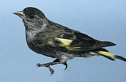 Spinus-Carduelis atriceps male.jpg