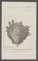 Spondylus crassi-squama - - Print - Iconographia Zoologica - Special Collections University of Amsterdam - UBAINV0274 074 10 0017.tif