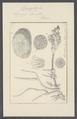 Spongia lacustris - - Print - Iconographia Zoologica - Special Collections University of Amsterdam - UBAINV0274 112 05 0006.tif