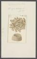 Spongia tubulosa - - Print - Iconographia Zoologica - Special Collections University of Amsterdam - UBAINV0274 112 02 0034.tif