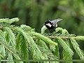 Spot-winged Tit (Periparus melanolophus) (42462199354).jpg