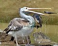 Spot billed Pellican (Pelecanus philippensis) catching a fish at Bannerghatta National Park.jpg