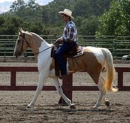 Spotted Saddle Horse1.jpg