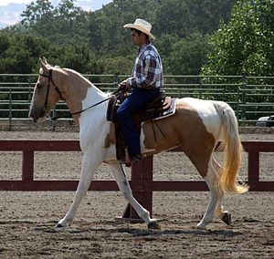 Spotted Saddle Horse - Spotted Saddle Horse under saddle