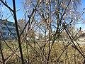 Spring buds in Högsbohöjd (IMG 2397).jpg