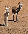 "Springboks (Antidorcas marsupialis) typical and ""black"" varieties ... (33093937875).jpg"