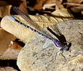 Springwater Dancer - Argia plana. Mature Male - Flickr - gailhampshire.jpg