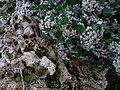 Spyridium globulosum.jpg