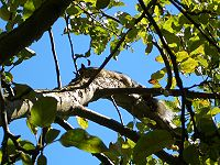 Squirrel-in-an-Apple-Tree-2316.jpg