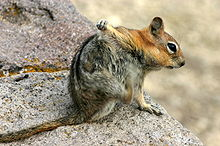 Squirrel Scratching the Armpit with its Hindlimb.jpg