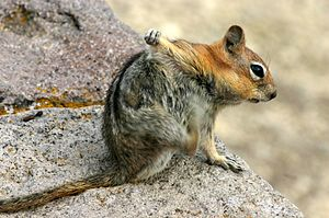 Squirrel scratching the armpit with its hindlimb