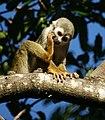 Squirrel monkey- Bonnet House, Fort Lauderdale, Florida (4233831510).jpg
