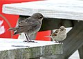 Starling Juvenile & House Sparrow (7481500430).jpg