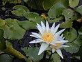Starr-010914-0055-Nymphaea sp-flower-Lahaina-Maui (24246606950).jpg