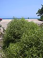 Starr-030525-0033-Myoporum sandwicense-habit-Kanaha Beach-Maui (24008097663).jpg