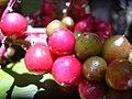 Starr-040509-0007-Cordyline fruticosa-fruit-Makawao-Maui (24584253102).jpg