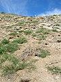 Starr-050404-5406-Eleusine indica-habit-Mokeehia-Maui (24715489416).jpg