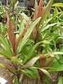 Starr-060916-8959-Cordyline fruticosa-leaves-Makawao-Maui (24747506002).jpg